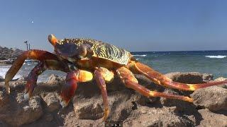 Крабы на пляже. Веселый клип про жизнь крабов за 53 секунды. Морские крабы в Египте