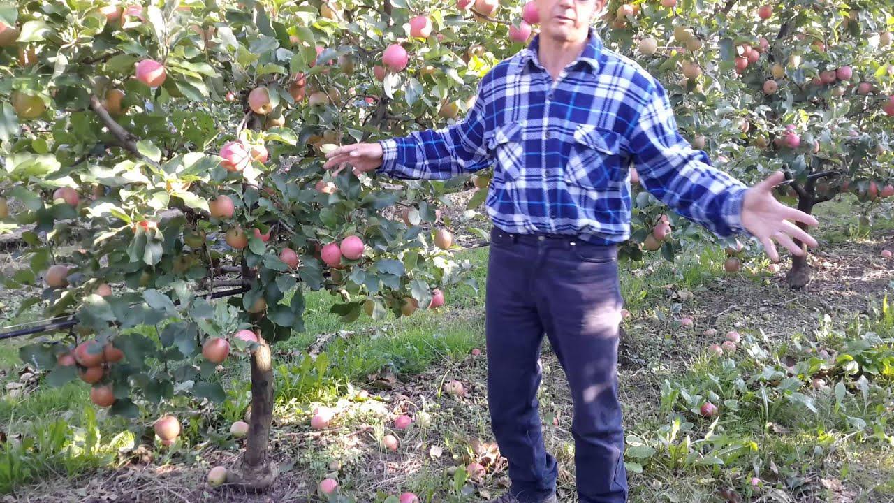 Potatura meccanica del melo dr alberto dorigoni youtube for Potatura del melo