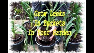 Grow Leeks in Buckets in your Garden or Back Yard.