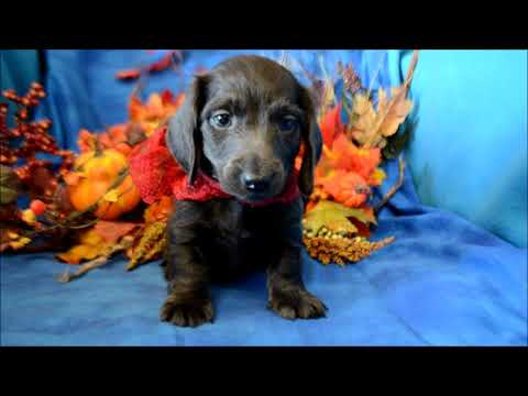 Chance AKC Male SOLID Blue Miniature Dachshund Puppy for sale!