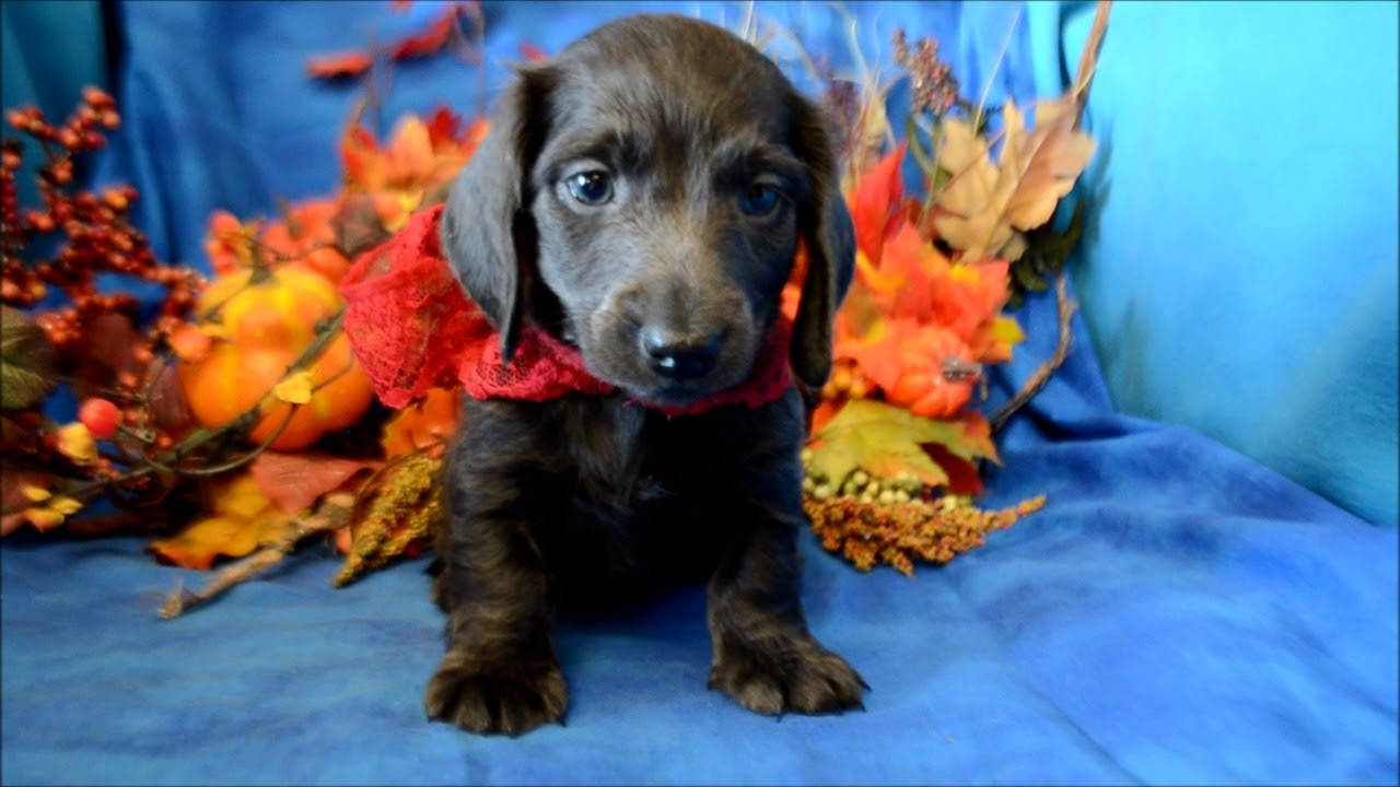 Chance Akc Male Solid Blue Miniature Dachshund Puppy For Sale Youtube