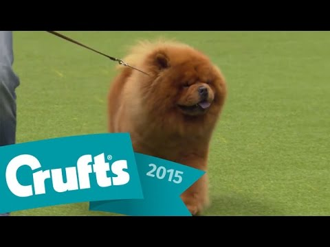 Miniature Poodle wins Utility Dog Group Judging | Crufts 2015