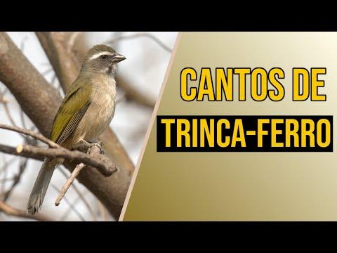BAIXAR FERRO BOIADEIRO MP3 CANTO TRINCA DE