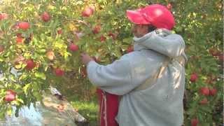 Fuji Apples- Delicious