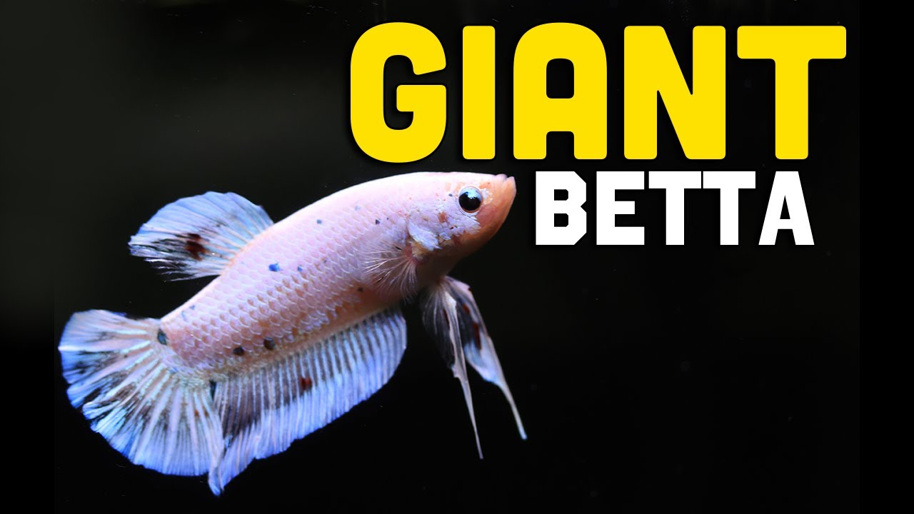 My *New* GIANT Betta Fish | He is HUGE!