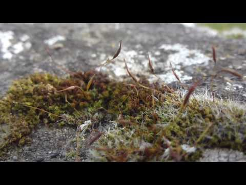 Moss spore capsules - Mosi - Baukmosi - Villijurtir