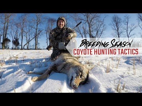 Breeding Season Coyote Hunting Tactics