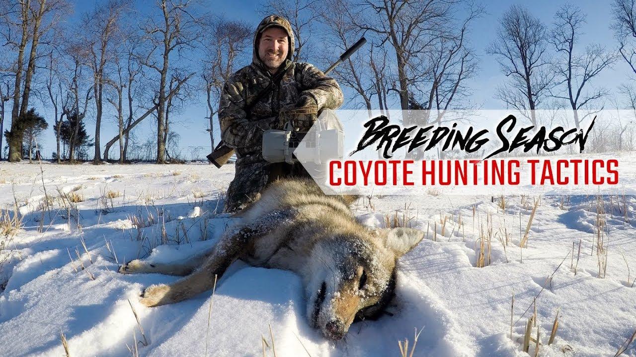 Breeding Season Coyote Hunting Tactics