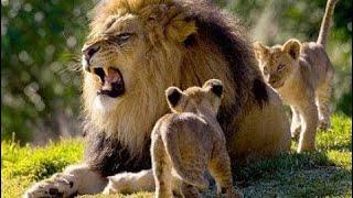Мир животных. Львы Африки. Документальный фильм про животных.