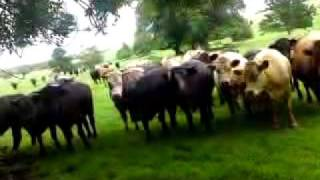 scaring cows lmao!!!!