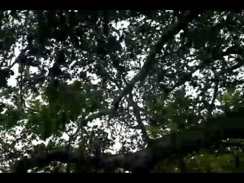 Biggest tree in Bursa Turkey 670 years oldest tree