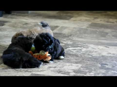 Shih Tzu Mix Puppies For Sale