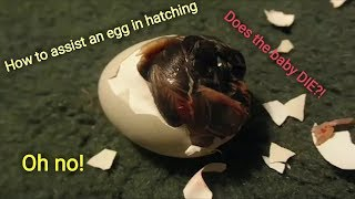 Attempting to Help an Egg Hatch! Will The Chick Live? |Ruby's Zoo