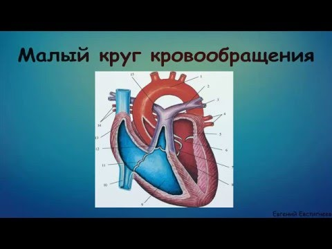 Круги кровообращения -