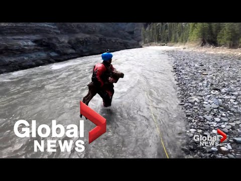 Moose calf rescued from drowning by Calgary kayakers in dramatic video