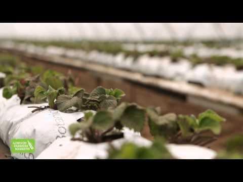 Fresh, seasonal strawberries at London Farmers Markets