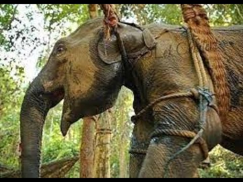 CRUELTY AGAINST ELEPHANTS