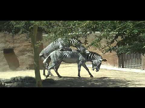Zebras Mating at the Los Angeles Zoo