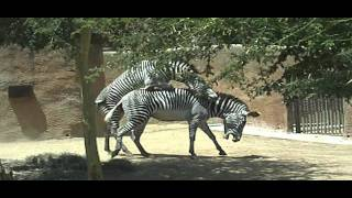 vuclip Zebras Mating at the Los Angeles Zoo