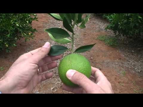 Citrus leaf analysis: Part 2 leaf sampling