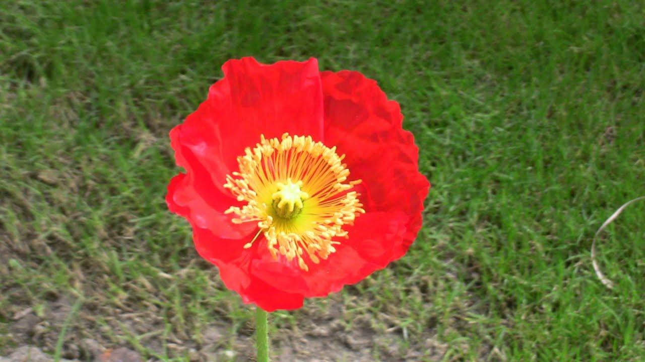 Poppy Flower Birth Bee Eating Youtube