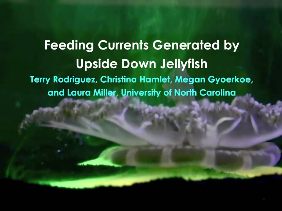 How do jellyfish eat? - YouTube
