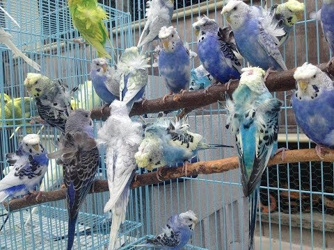 How to  choose healthy budgies from shop...