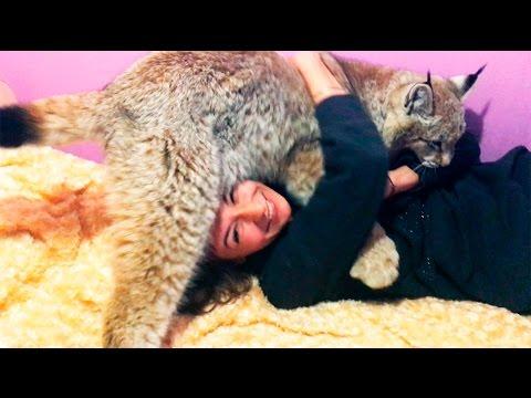 Знакомство Умки с вислоухим шотландским котом и много обнимашек :3