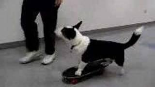 Riley The Cardigan Welsh Corgi Dog Rides A Skateboard