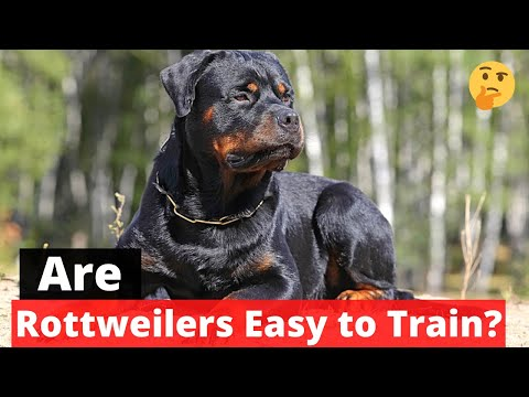 Are Rottweilers Easy to Train? Rottweiler Training Guide