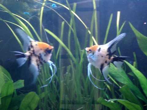 tropical angelfish food