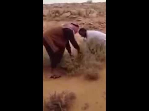عملية اصطياد قط بري في السعودية wild cat