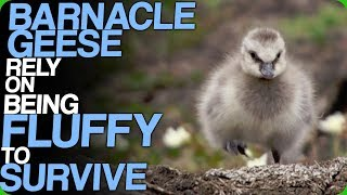 Barnacle Geese Rely On Being Fluffy To Survive (The Cutest Baby Animals - Vote Your Favourite)
