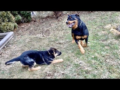 Rottweiler meets German shepherd puppy |64