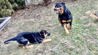 Rottweiler meets German shepherd puppy |64
