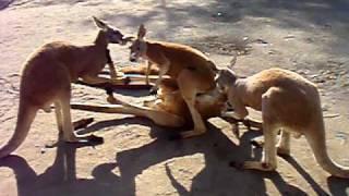 2010.11.6 カンガルーのケンカと言えばキックボクシングが定番ですが、...