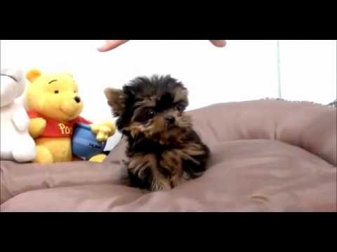 Puppy Petite Boutique Amazing Micro Teacup Yorkie Male For Sale Prince!