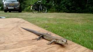 Drenthe camping Ruinen salamander 2