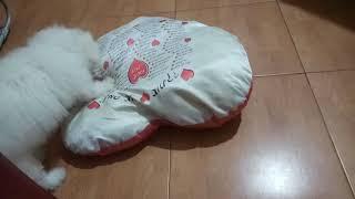 Бишон фризе нравится кавырять подушки.смешная!