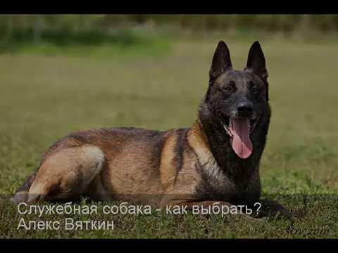 Служебная собака - как выбрать? Алекс Вяткин