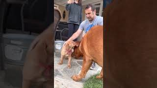 French Mastiff puppy meets her big brother for the first time!