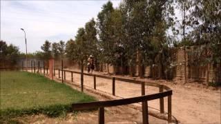 Caballo peruano de paso - parte 3
