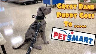 Koopa our Great Dane Puppy Goes to Petsmart!