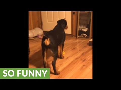 Rottweiler sees herself in the mirror for the first time