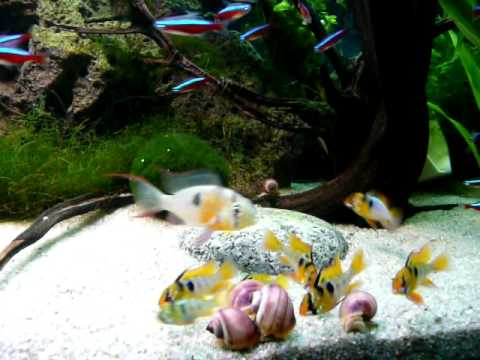Tank Raised German Blue Rams Microgeophagus Ramirezi