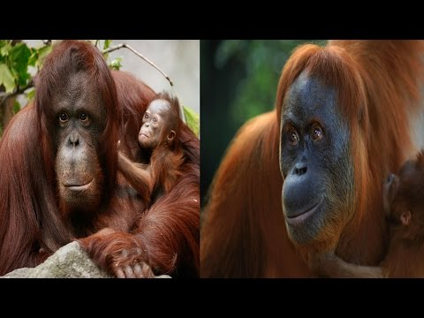 Bornean Orangutan & Sumatran Orangutan - The Differences