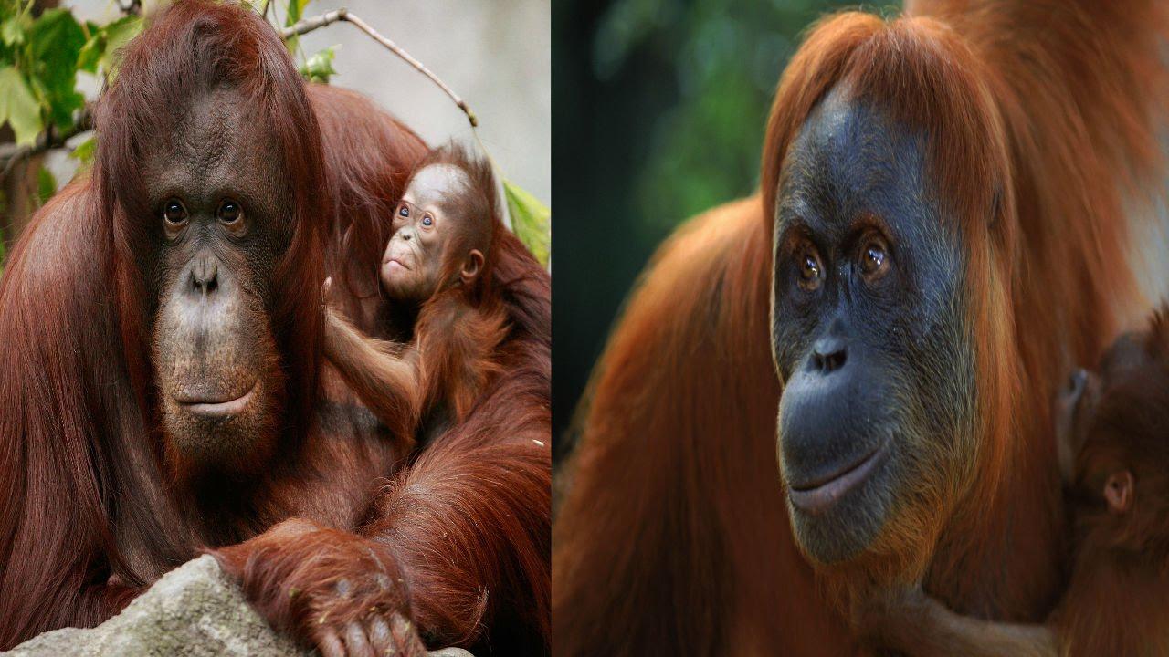 Bornean Orangutan & Sumatran Orangutan - The Differences ...
