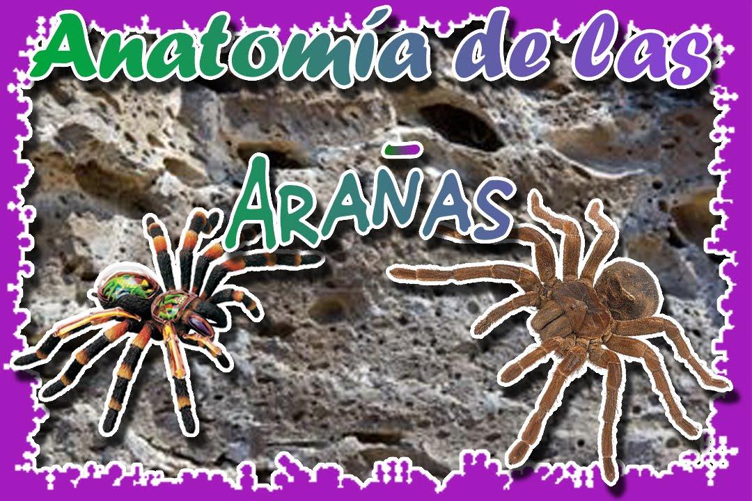 Anatomía de las arañas |Queda impresionado con su interior ...