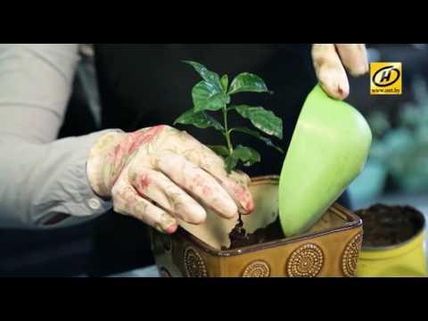 """Вырастить кофе дома, грунт """"Живой мир"""" от Ботанического сада г. Минска"""