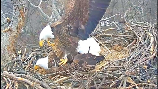 Washington, DC Eagles 2.1.17 Liberty & Justice Mating on the nest